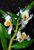 Dendrobium wardianum species