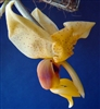 Stanhopea anfracta species