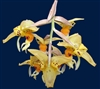 Stanhopea embreei species
