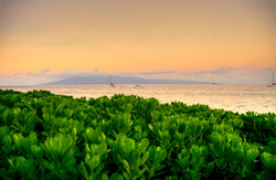Beach Plants Kaanapali. A gallery wrapped canvas by Kelly Wade