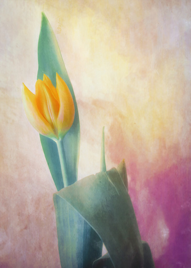 Point Tip Tulip by Hal Halli