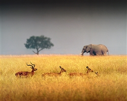 Elephant and Impala's giclee canvas by Don Schimmel