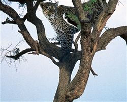 Leopard giclee canvas by Don Schimmel
