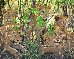 Lion Cubs giclee canvas by Don Schimmel