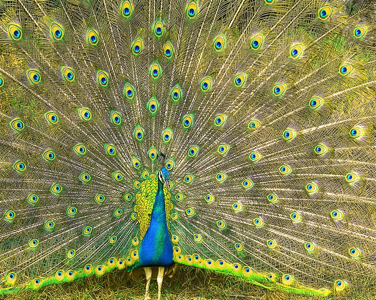Peacock giclee canvas by Don Schimmel