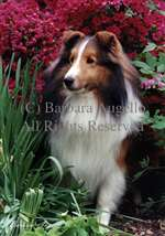 Sheltie (Sable) Garden Flag