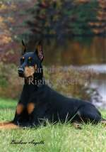 Doberman Pinscher (Black/Tan) Garden Flag