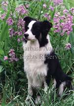 Border Collie Garden Flag