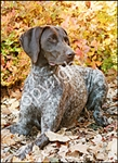 German Short Hair Pointer Garden Flag
