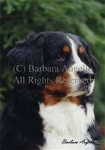 Bernese Mountain Dog Garden Flag