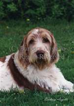 Spinone Italiano Garden Flag