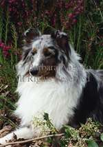 Sheltie (Blue Merle) Garden Flag