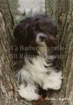 Havanese (Black/White) Garden Flag