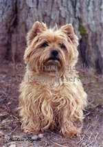 Cairn Terrier Wheat Garden Flag