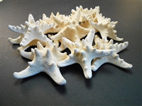White Knobby Starfish