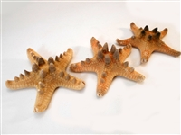 Chocolate Chip Starfish 6-7""