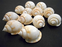 white bonnet shells