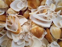 multi cut canarium shells