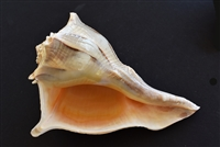 Left Handed Whelk