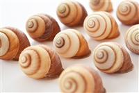 Brown Striped Land Snail