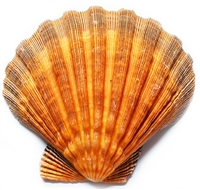 Orange Lions Paw Scallop