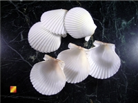 White Scallop