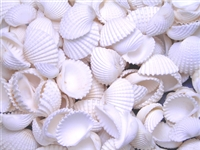 tiny white ark shells