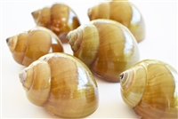 Green Land Snail Shell