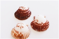 Calico Scallop Small