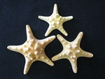 Natural Knobby Chocolate Chip Starfish
