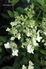 Hydrangea Paniculata Chantilly Lace