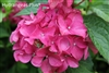 Hydrangea Macrophylla Forever Pink