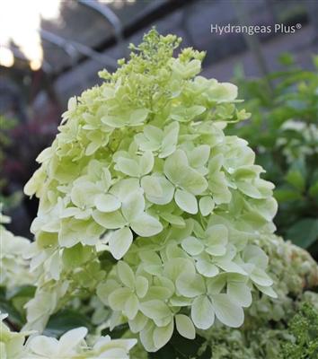 hydrangea paniculata phantom. Black Bedroom Furniture Sets. Home Design Ideas