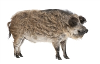 Sometimes spelled Mangalitsa in the UK or Mangalitza in the USA is a Hungarian breed of domestic pig. It was developed in the mid-19th century by crossbreeding Hungarian breeds from Szalonta and Bakony with the Serbian Å umadija breed.