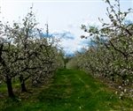 Saulpaugh Apples