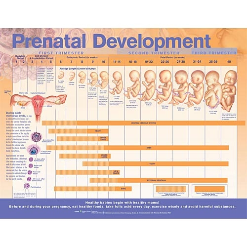 an overview of prenatal period Now we turn our attention to prenatal development which is divided into three   here is an overview of some of the changes that take place during each period.