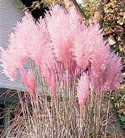 Cortaderia Feather Pink Grass