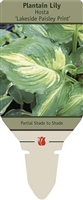 Hosta Plantain Lily 'Lakeside Paisley Print'
