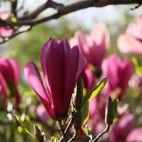 Ann' Japanese Flowering Magnolia Tree