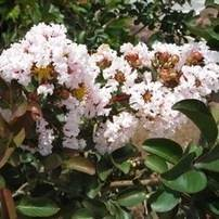 Burgundy Cotton Crape Myrtle Tree