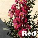 Centennial Red Crape Myrtle Tree