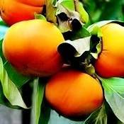 Chocolate Persimmon Tree