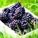 Dewberry Blackberry Plant
