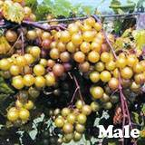 Dixie Scuppernong Grape Vine