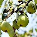 Florida Home Pear Tree
