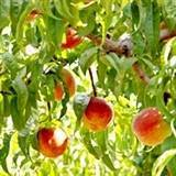 Florida Prince Peach Tree