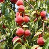 Hale Haven Peach Tree