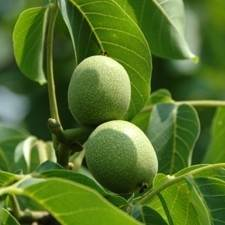 Heartnut Walnut Tree