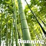 Japanese Timber bamboo plant