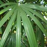 Lady Palm Tree
